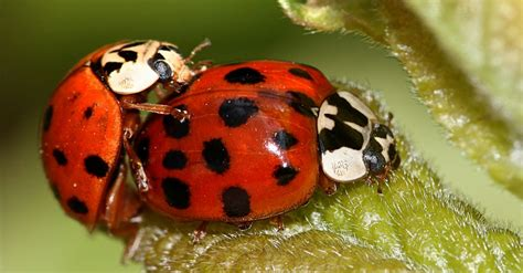 asian beetles in dogs fact check beetles embedded in s