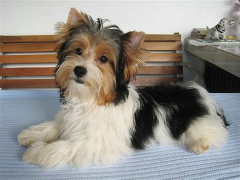 biewer terrier haircuts biewer terrier hair cuts biewer yorkie terrier biewer