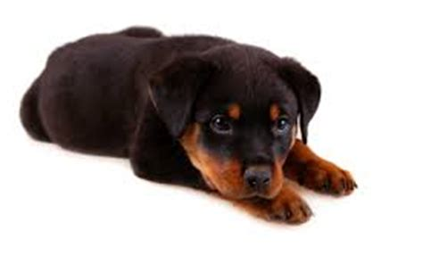 rottweiler puppy aggressive behavior a rottweiler stop bites and make them well behaved pets world