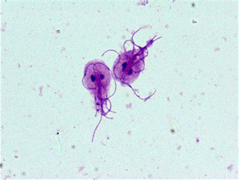 giardia in dogs treatment giardia health information for small breed dogs pet it apparel