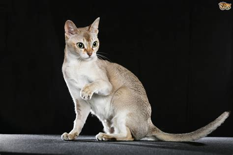 Some more information on the Singapura cat breed   Pets4Homes