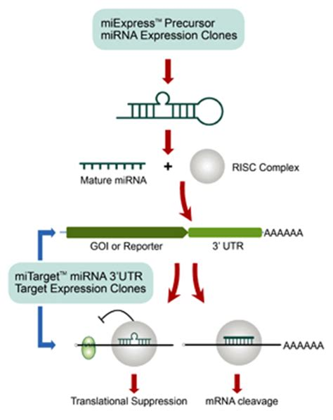 Mirna Set mirna expression mirna target precursor clone genecopoeia