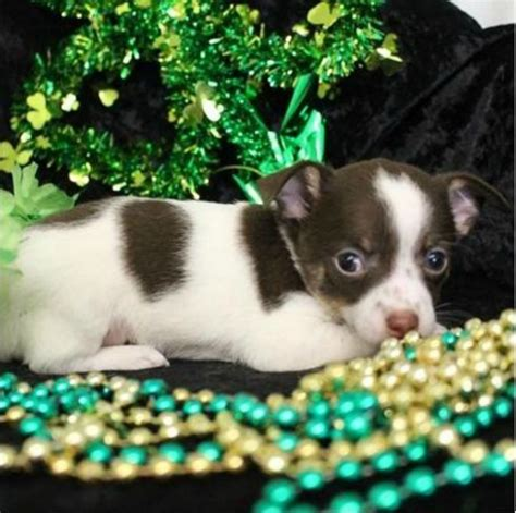 chihuahua puppies for sale in mi great chihuahua puppies for salegreat chihuahua puppies for sale handmade michigan
