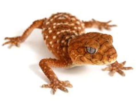 Knob Tailed Gecko For Sale by Geckos For Sale Gecko
