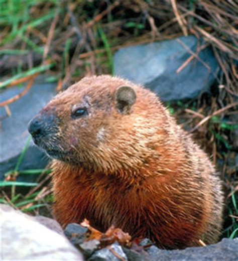 groundhog day in canada groundhog day the canadian encyclopedia