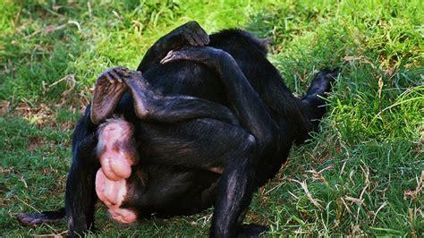 baboon gorilla mating animals mating like humans