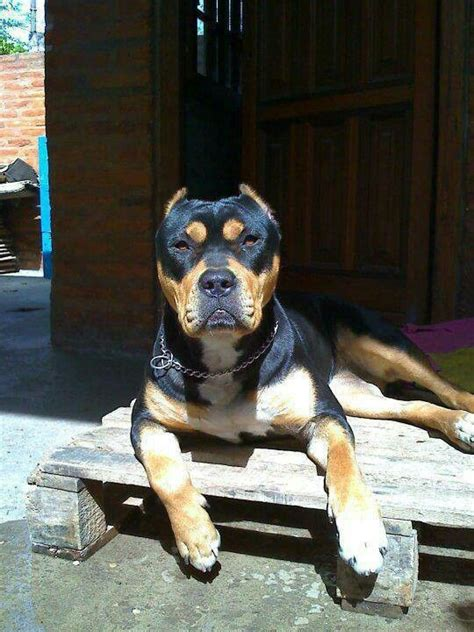 rottweiler with cropped ears pit bull rottweiler mix and what a cutie i wish the ears weren t cut but still