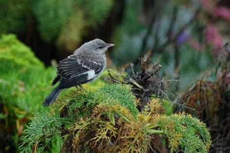 northern mockingbird fledgling ventura california