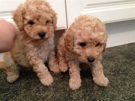 poodle puppies for sale poodle puppies for sale halifax west pets4homes