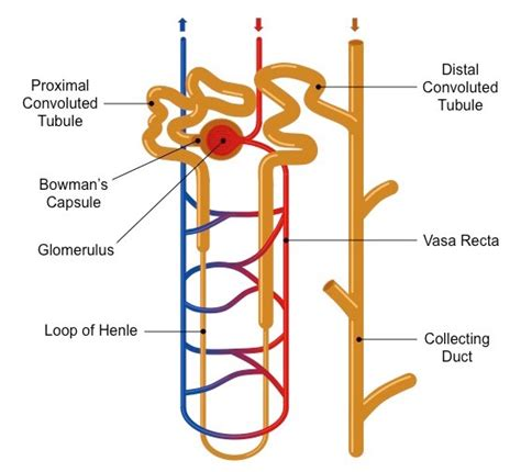 diagram of nephron nephrons bioninja