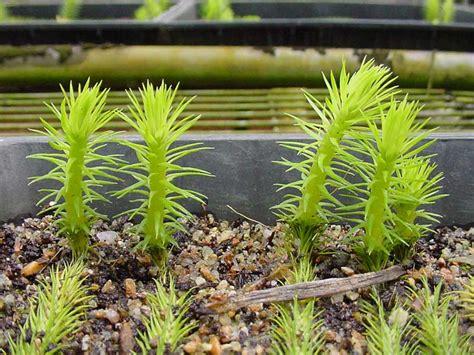 tassel ferns and clubmosses australian plant information