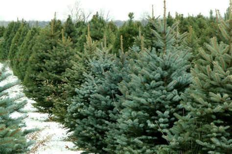thieves who stole cannock chase christmas trees claimed