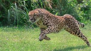 Jaguar In Pronunciation Cheetah The Cincinnati Zoo Botanical Garden
