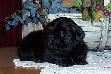 how much shih tzu puppies cost how much does a shih tzu puppy cost shih tzu daily