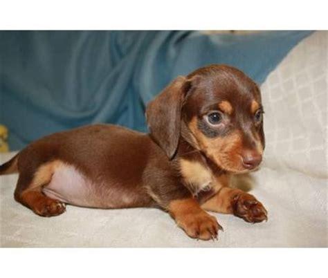 dachshund puppies price mini dachshund puppy price tbd me some animals