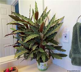 I Love U Flowers Photo - fabulous houseplants calathea rufibarba susan s in the