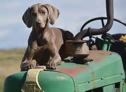 questions to ask a breeder questions to ask a breeder western washington weimaraner club
