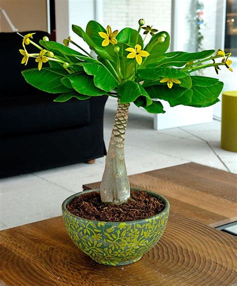 unusual houseplants the hawaiian palm brighamia insignis es a very unusual