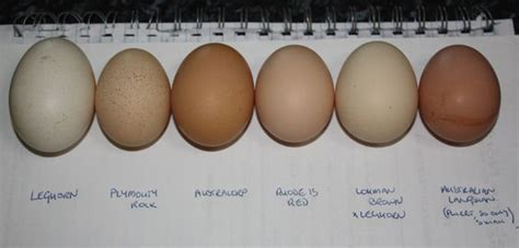 plymouth rock eggs the world s catalog of ideas