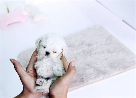micro poodle puppy 17 best images about micro teacup poodles