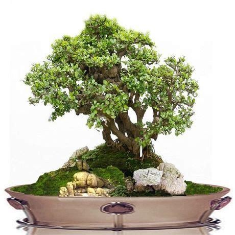 china bonsai home garden plants bonsai plants