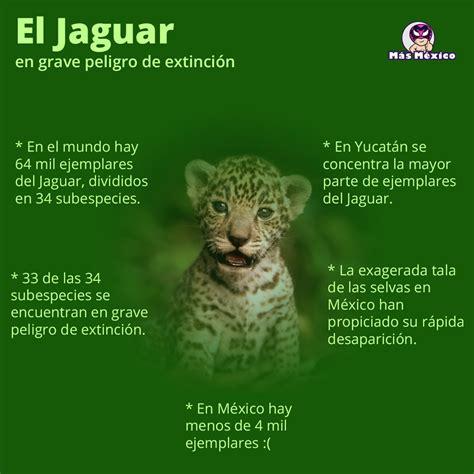 imagenes de jaguar en peligro de extincion imagenes de jaguar en peligro de extincion imagenes del