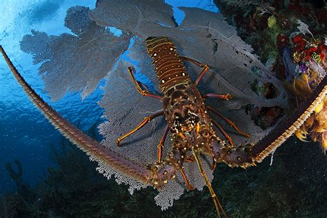 Belize Search Lobster Season In Belize Caribbean Villas Hotel San Pedro Belize