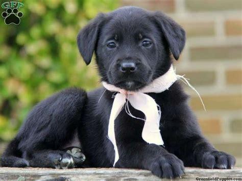 german sheprador puppies german sheprador puppies for sale in pa puppies for sale puppies for