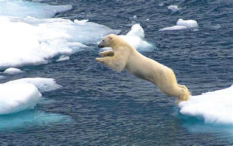 jump   white polar bear floes  ice snow sea
