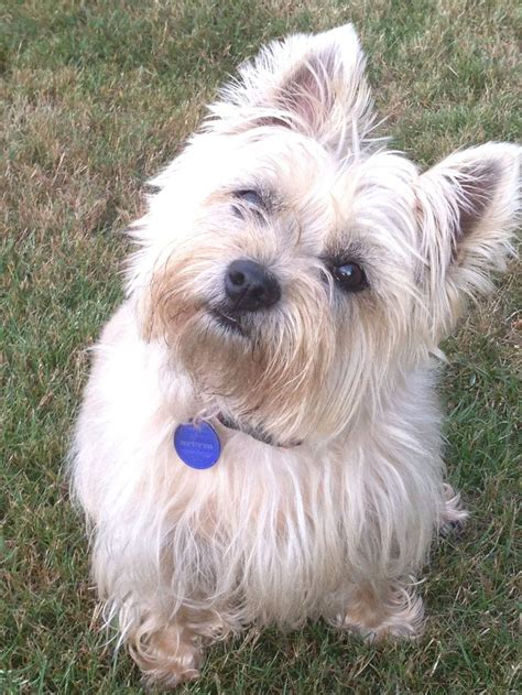trim cairn terrier face 75 best yorkie silhouette images on pinterest yorkie