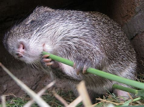 Would You Eat A Rat by Rats Aka Grass Cutters Would You Eat Them Bebee