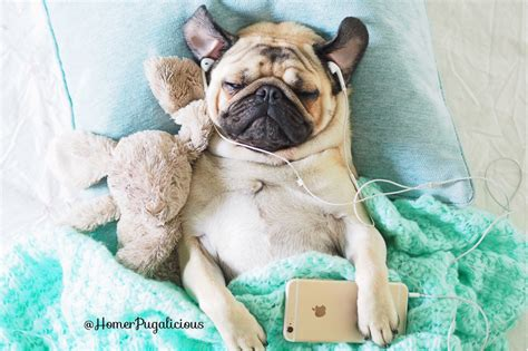 do all pugs snore homer social pug profile the pug diary