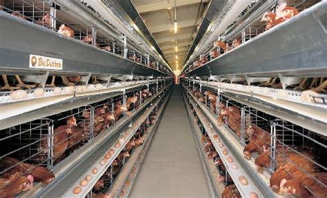 Bibit Ayam Petelur Di Malang dinas peternakan provinsi jawa timur sistem kandang closed house untuk ayam petelur