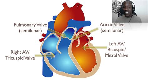 the heart and the the anatomy of the heart youtube