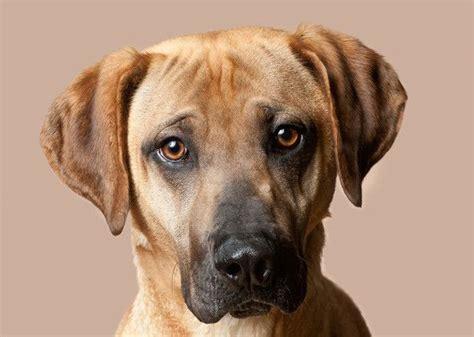 Medium Sized Non Shedding Dogs by The 20 Breeds Mountain Cur Everythingdogz
