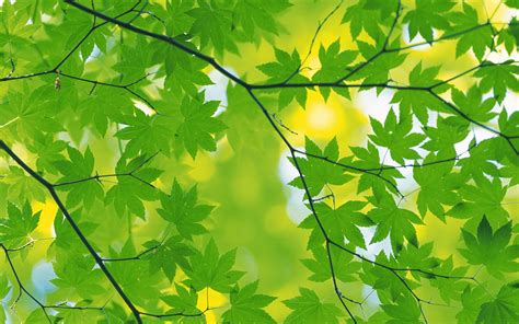 wallpaper daun maple green leaves wallpapers wallpaper cave