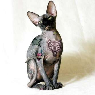 tattooed hairless cat tattooed pets dale mackey