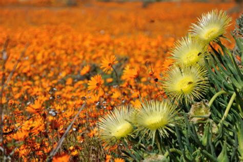 fiori arancioni nomi viaggio in sud africa per il miracolo della fioritura nel