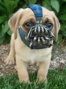 ever wonder what a pug muzzle looks like