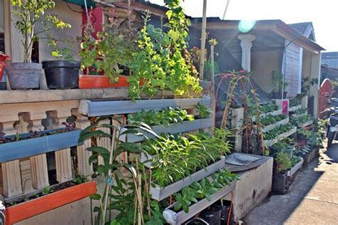 tanaman obat budidaya tanaman herbal  rumah