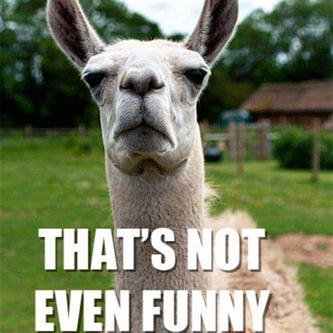 Llama Meme - the 9 funniest llama memes kendrick llama llama del rey