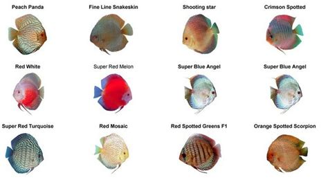What To Consider When Buying A House discus fish the definitive guide types tank mates keeping