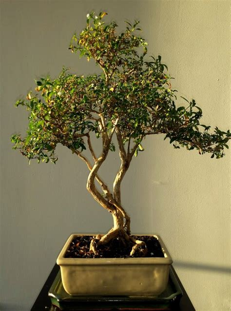 grow bonsai tree  beginners youramazingplacescom