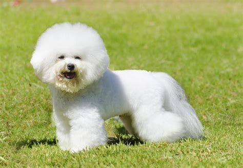 Does A Bichon Frise Shed by Small Breeds That Don T Shed Breeds Picture