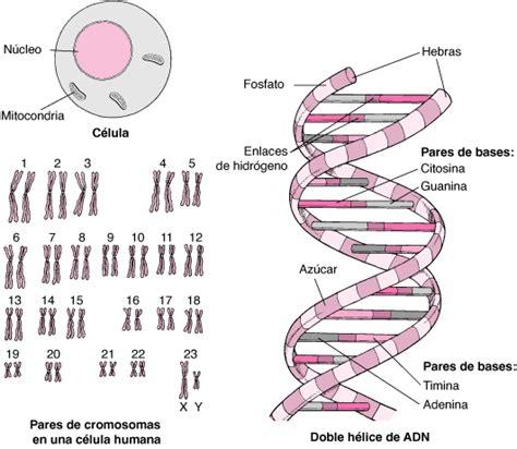cadena de adn de 15 nucleotidos genes y cromosomas fundamentos manuale merck versi 243 n