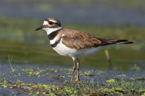 killdeer bird facts habitat eggs sounds adaptations