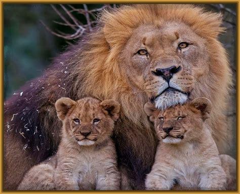 imagenes de leones para ni os fotos de una leona archivos imagenes de leones
