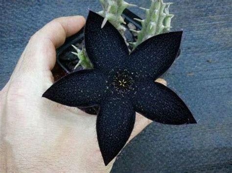 imagenes raras oscuras m 225 s de 25 ideas incre 237 bles sobre flores negras en