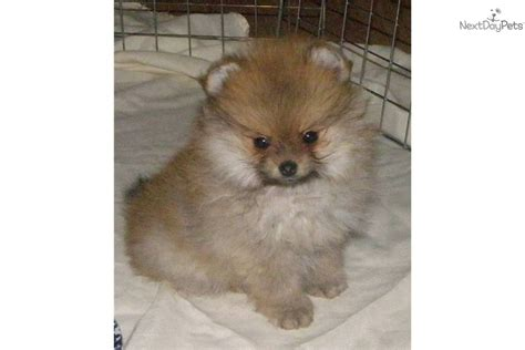 pomeranian breeders oregon pomeranian for sale for 500 near eugene oregon 0bafabd9 dd31