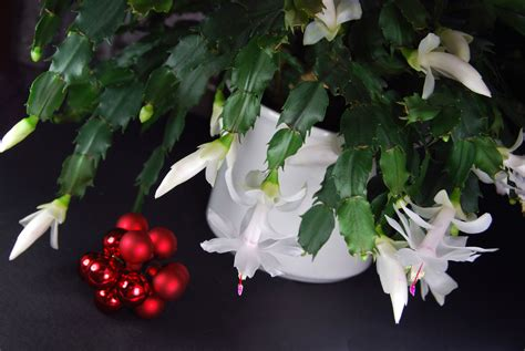 common holiday cacti types of christmas cactus plants
